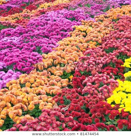 Chrysant najaar bloem slechte gestreept natuur Stockfoto © wildman