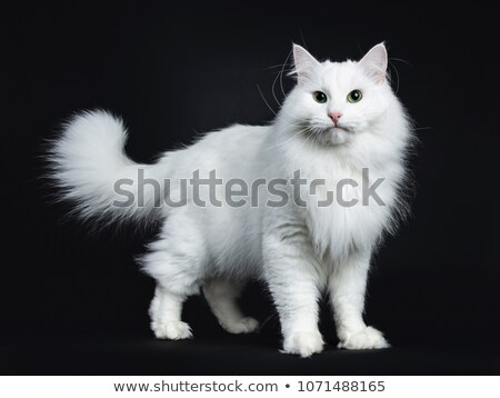 solid white Siberian cat Stock photo © CatchyImages
