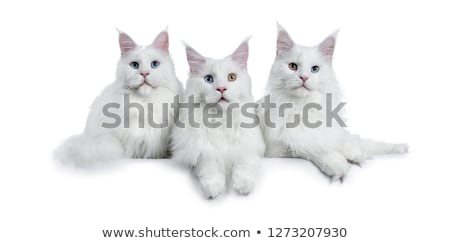 3 solid white adult Maine Coons Stock photo © CatchyImages