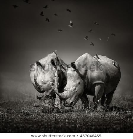 Two White rhinos standing in the grass. Stock photo © simoneeman