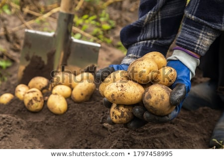 Aardappel oogst landbouwer vuile Stockfoto © Stocksnapper