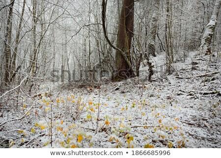őszi tölgy levelek fenyőfa fa erdő Stock fotó © visdia