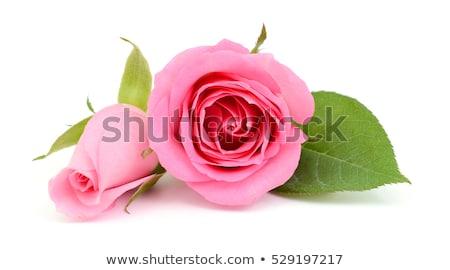 Pink rose bud on a green stalk Stock photo © boroda
