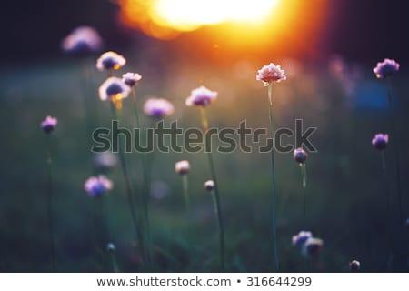 Pavot champ de fleurs nuit rêveur bleu sélectif Photo stock © Anna_Om