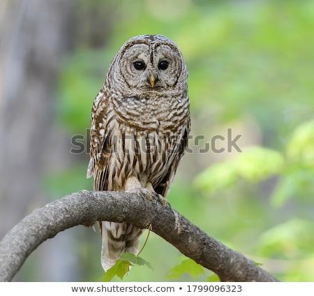 Barred Owl Stock photo © RachelD32