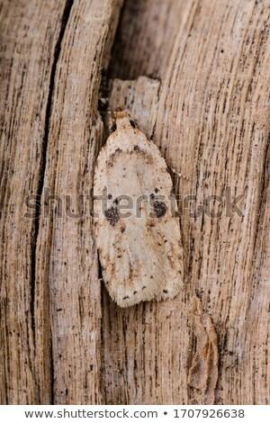 Brown Moth on a Leaf Stock photo © rhamm