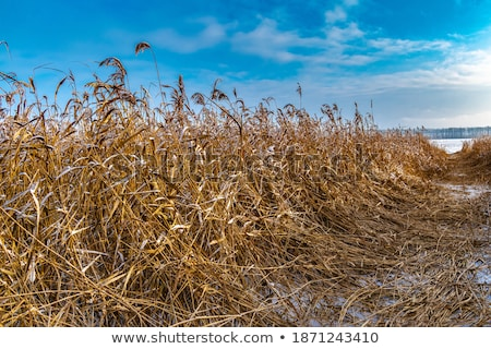 Calm Lake with Wheat Stalks  Stock photo © tab62