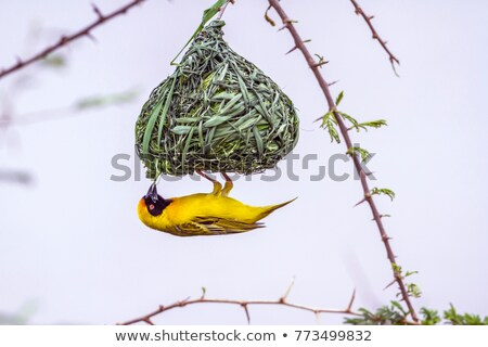Weaver Bird Ploceidae on Nest Working  Stock photo © billperry