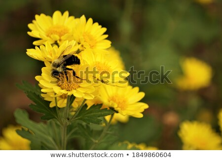 bee sip nectar from yellow flower Stock photo © almir1968