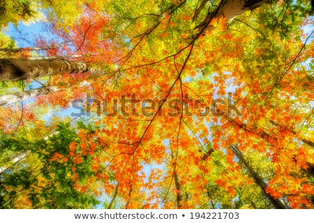Low angle view of trees in a forest, Ontario, Canada Stock photo © bmonteny