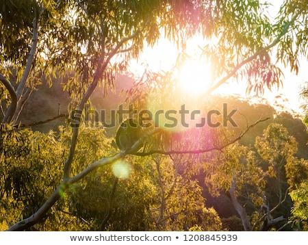 koala · dormir · árbol · vista · retrato - foto stock © lightpoet