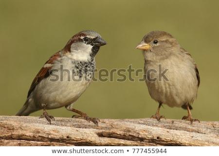 Foto stock: Casa · pardal · feminino · sessão · cerca · pássaro