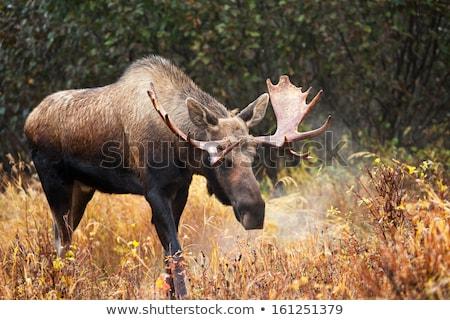 Orignal domaine hiver saskatchewan Canada nature Photo stock © pictureguy