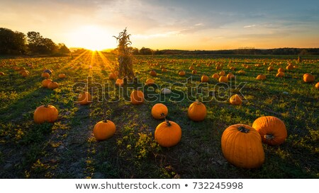 harvest in a field of pumpkins in early fall   Stock photo © flariv