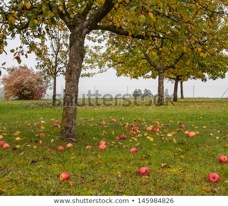 közelkép · fenék · piros · zöld · alma · növekvő - stock fotó © meinzahn