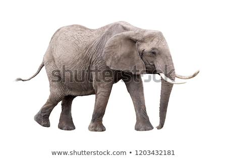 Dier olifant witte eps 10 zwarte Stockfoto © Istanbul2009