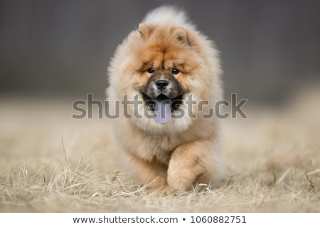 Chow Chow Stock photo © colematt