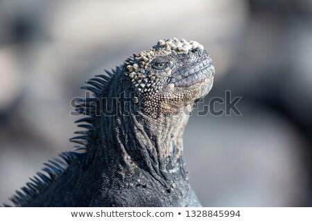 exotisch · huisdier · leguaan · illustratie · glimlachend · man - stockfoto © colematt