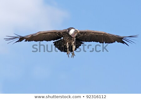 griffon vulture in the sky stock photo © anna_om