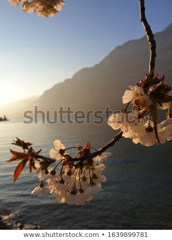 fotoğraf · ağaç · brunch · beyaz · pembe - stok fotoğraf © anna_om
