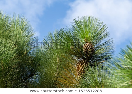 Giant Coulter pine (Pinus coulteri) cone Stock photo © snyfer