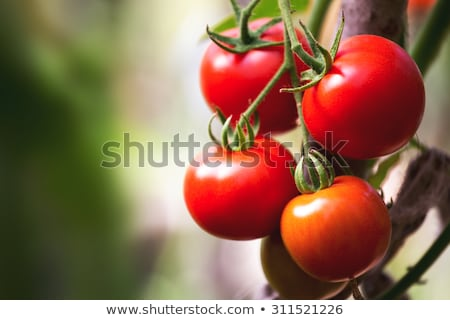 Tomato plants in a small greenhouse Stock photo © 5xinc