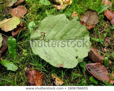 Alder leaf closeup. Autumn season Stock photo © pashabo