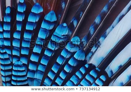 Feather of a Eurasian jay on white Stock photo © Smileus