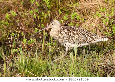 Curlew Stock photo © chris2766