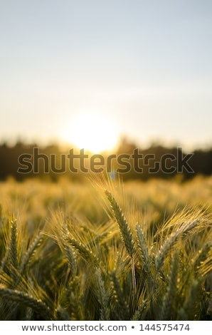 wheat field in sundown stock photo © viperfzk