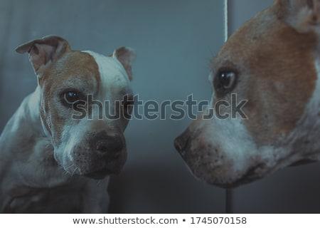 old pitbull in studio Stock photo © cynoclub
