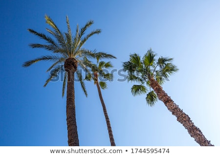 Washingtonia robusta Stock photo © bluering
