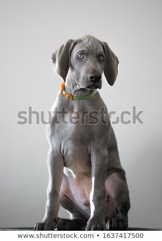 beautiful weimarener in the white photo studio stock photo © vauvau