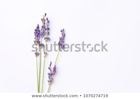 Belo profundo roxo lavanda plantas natureza Foto stock © artistrobd