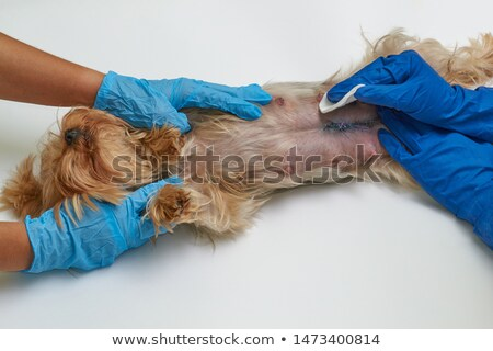 Veterinary doctor treats a wound  Stock photo © OleksandrO