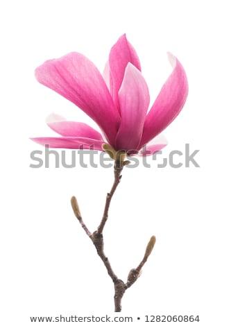 開花 · ピンク · 花 · 支店 - ストックフォト © neirfy