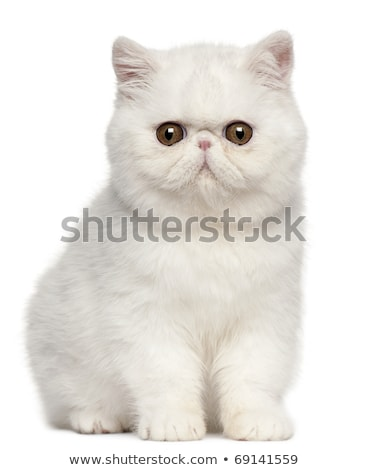 tiny exotic shorthair kitten on white stock photo © catchyimages
