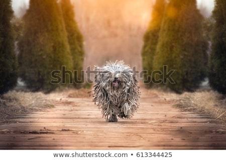 Stock photo: Little hungarian Puli Dog