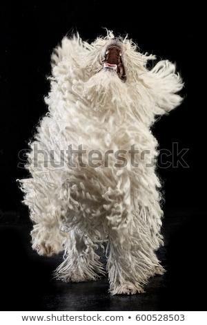Studio shot of a barking Puli Stock photo © vauvau