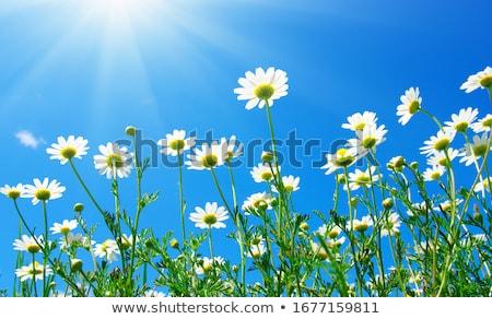 Daisy цветы Солнечный саду весна красоту Сток-фото © Anneleven