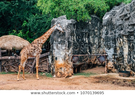 Giraffe in Zoo in Bangkok Stock photo © bloodua