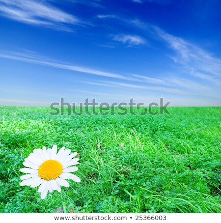 Camomiles and wide steppe. Stock photo © lypnyk2