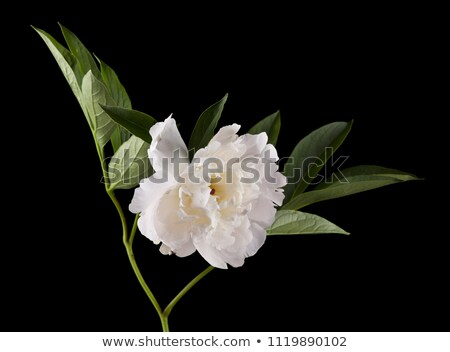 One white flower with green leaf Stock photo © boroda