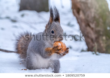 Grey Squirrel in Winter Stock photo © scooperdigital