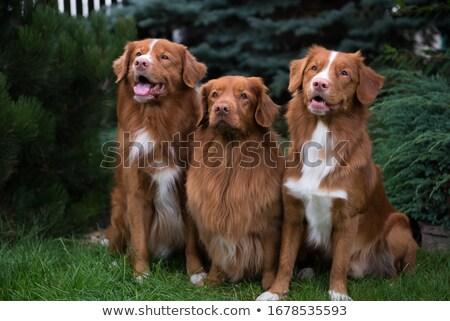 retriever · cão · sofá · isolado - foto stock © eriklam
