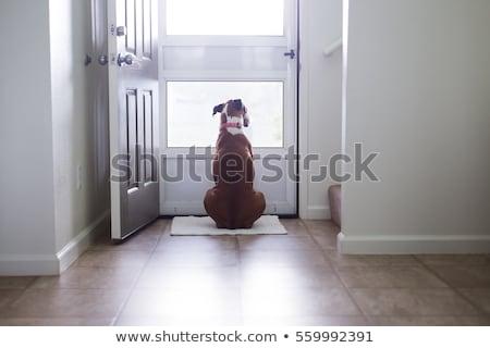 Longing dog Stock photo © stevanovicigor