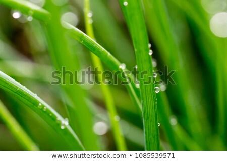 チャイブ 農園 春 草 小さな サラダ ストックフォト © antonihalim