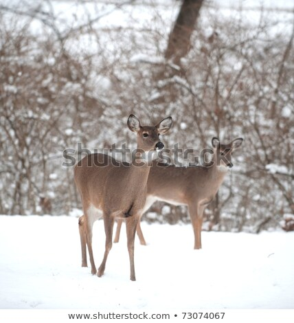Whitetail Deer Doe standing in the snow Stock photo © mybaitshop