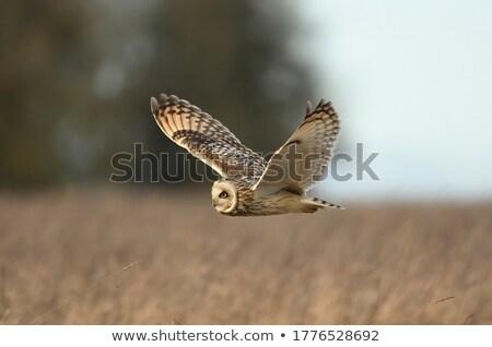 Chouette adulte nature Écosse Photo stock © suerob