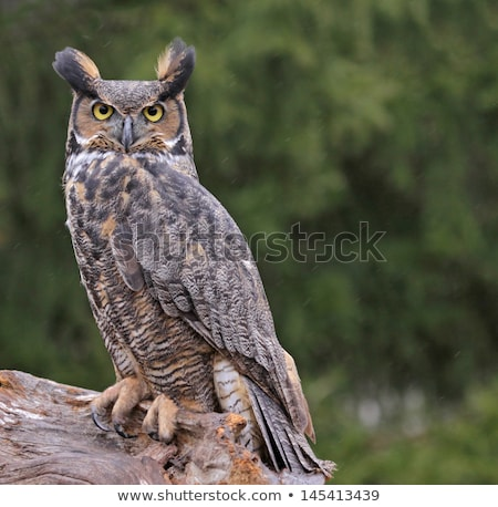 Horned Owl (Bubo virginianus) Stock photo © vladacanon